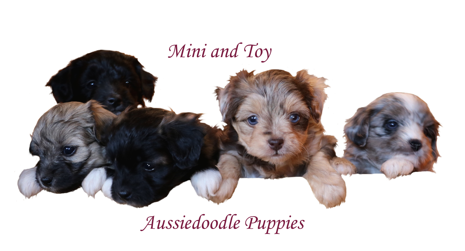 Quality Aussie Doodle Puppies for sale